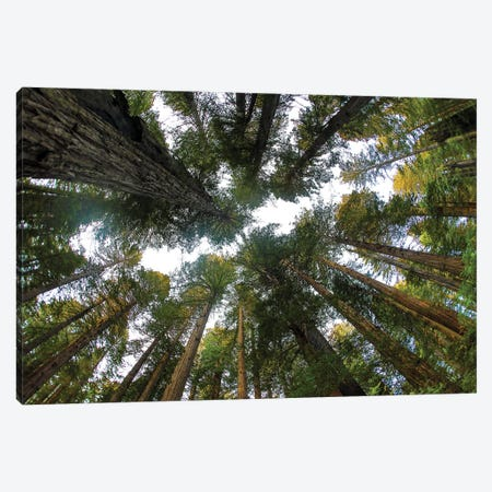 Looking Up Into Grove Of Redwoods, Del Norte Redwoods State Park, California 3-Piece Canvas #DGU167} by Darrell Gulin Canvas Wall Art