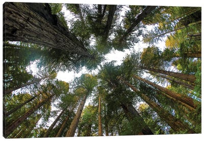 Looking Up Into Grove Of Redwoods, Del Norte Redwoods State Park, California Canvas Art Print