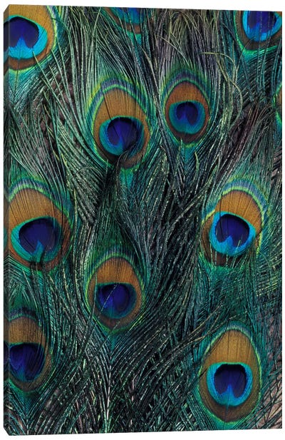 Peacock Feathers In Zoom Canvas Print #DGU1
