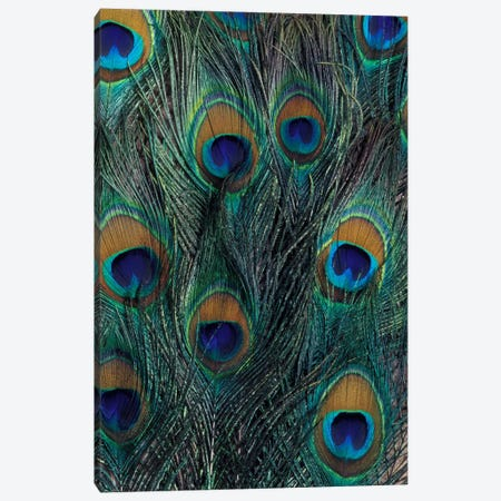 Peacock Feathers In Zoom Canvas Print #DGU1} by Darrell Gulin Art Print