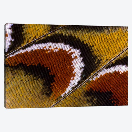 Butterfly Wing Macro-Photography XIV Canvas Print #DGU21} by Darrell Gulin Canvas Print
