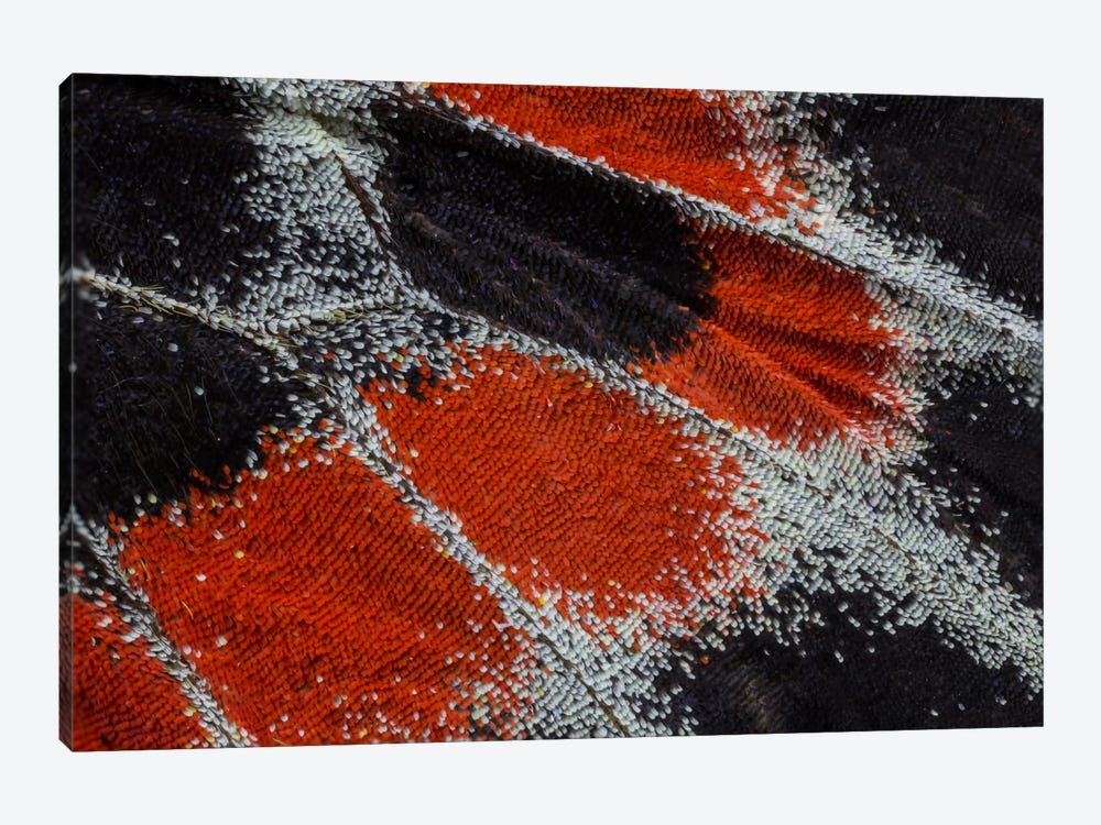Butterfly Wing Macro-Photography XIX by Darrell Gulin 1-piece Canvas Wall Art