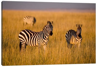 Plains Zebras, Maasai Mara National Reserve, Kenya Canvas Art Print