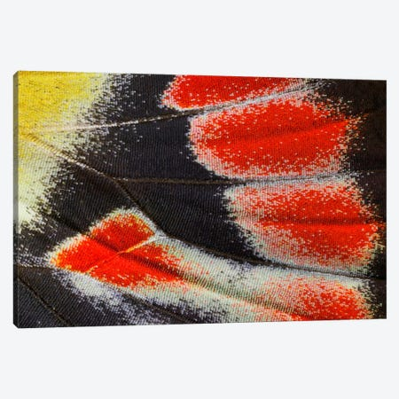 Butterfly Wing Macro-Photography XXIII Canvas Print #DGU30} by Darrell Gulin Canvas Wall Art