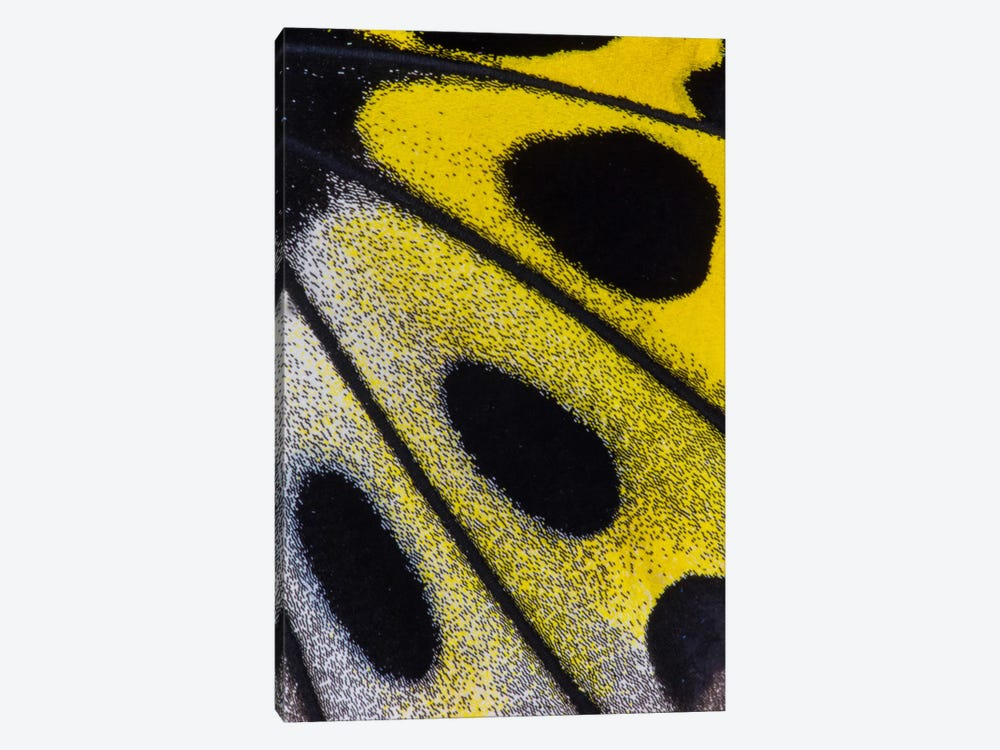 Butterfly Wing Macro-Photography XXVIII by Darrell Gulin 1-piece Canvas Art