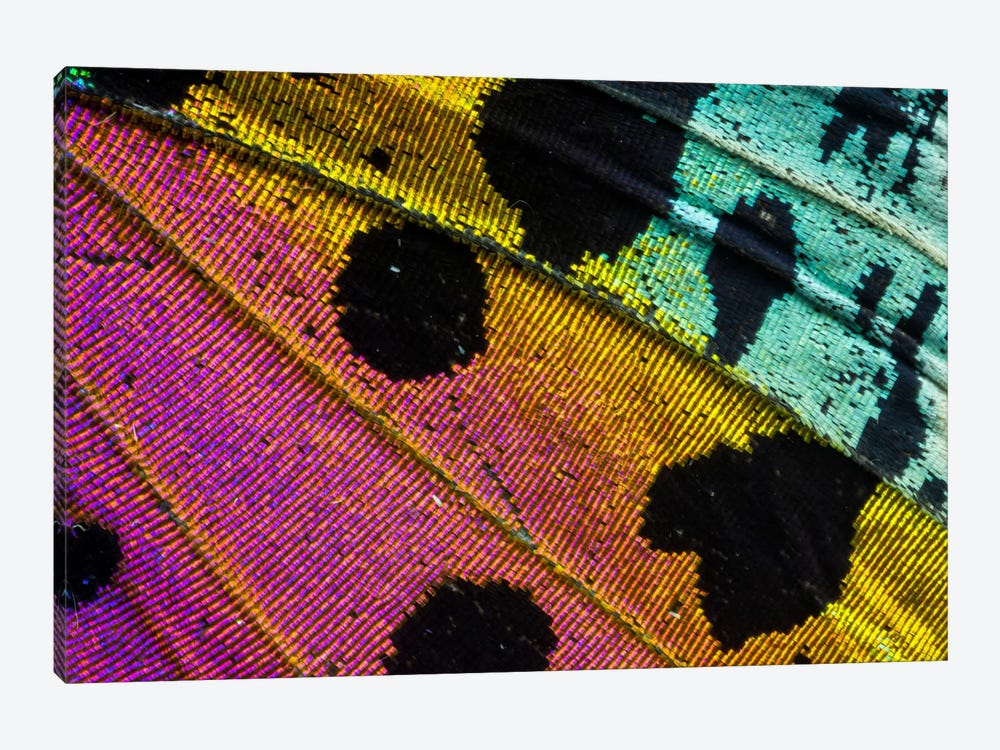 Butterfly Wing Macro-Photography XXXI by Darrell Gulin 1-piece Canvas Print