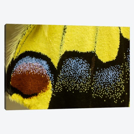 Butterfly Wing Macro-Photography XXXII Canvas Print #DGU39} by Darrell Gulin Canvas Art