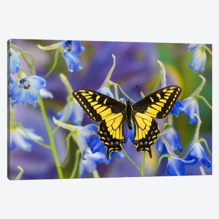Open-Winged Anise Swallowtail In Zoom Among Blue Delphinium Canvas Print #DGU3} by Darrell Gulin Canvas Print