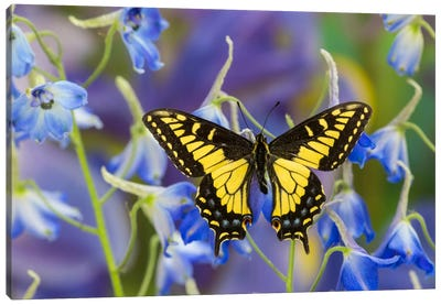Open-Winged Anise Swallowtail In Zoom Among Blue Delphinium Canvas Art Print