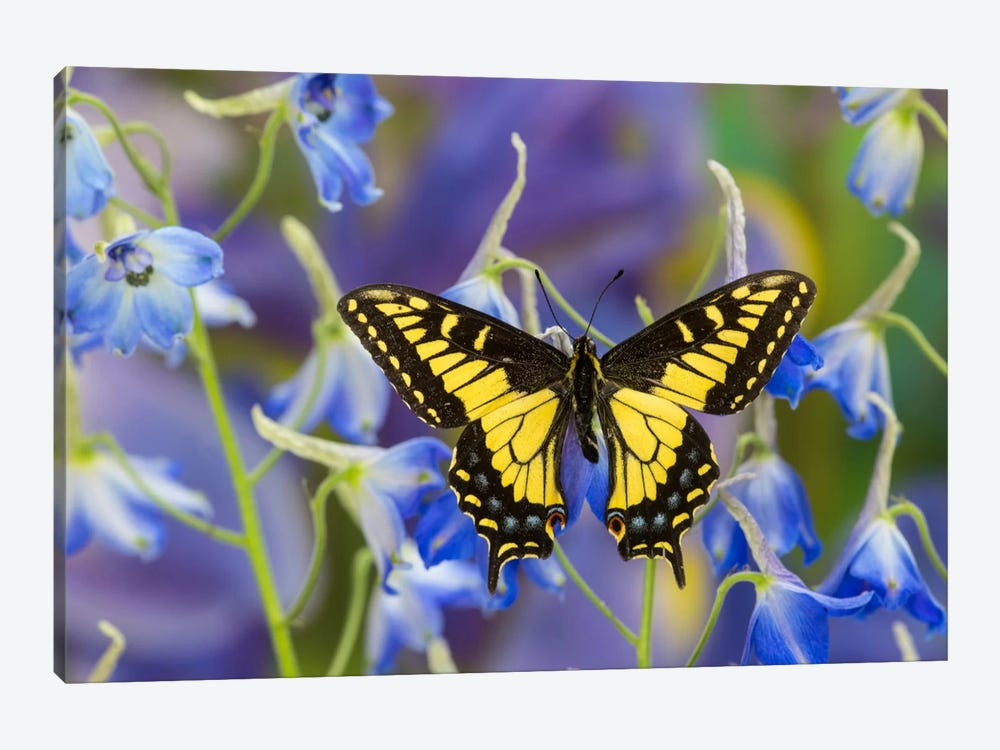 Open-Winged Anise Swallowtail In Zoom Among Blue Delphinium by Darrell Gulin 1-piece Canvas Wall Art