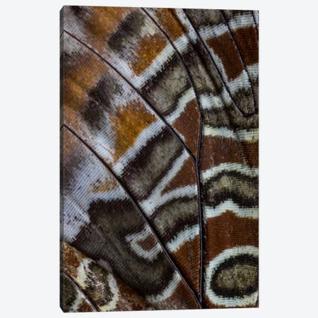 Butterfly Wing Macro-Photography XXXIII Canvas Print #DGU40} by Darrell Gulin Art Print
