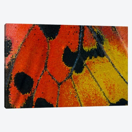 Butterfly Wing Macro-Photography XXXIV Canvas Print #DGU41} by Darrell Gulin Canvas Art Print