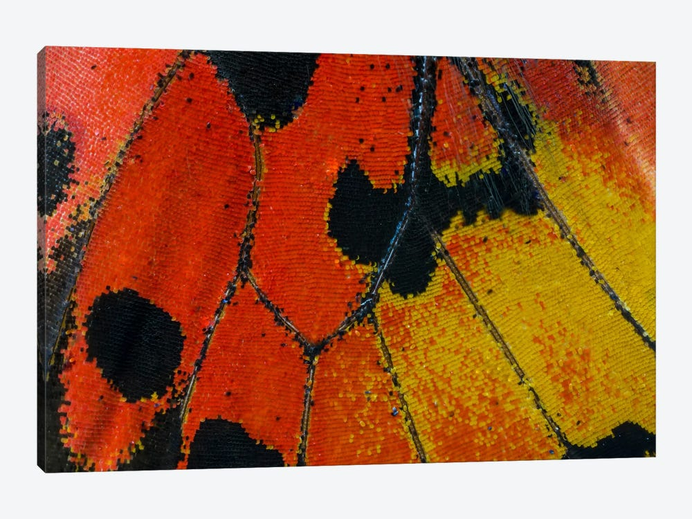 Butterfly Wing Macro-Photography XXXIV by Darrell Gulin 1-piece Canvas Art Print