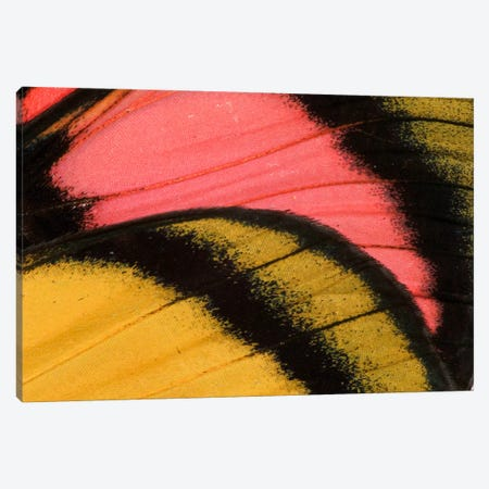 Butterfly Wing Macro-Photography XXXV Canvas Print #DGU42} by Darrell Gulin Canvas Art Print
