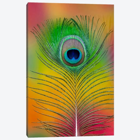 Single Male Peacock Tail Feather Canvas Print #DGU44} by Darrell Gulin Canvas Art