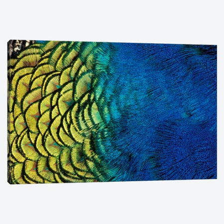 Peacock Feather In Zoom, Ashland, Jackson County, Oregon, USA Canvas Print #DGU48} by Darrell Gulin Canvas Art Print