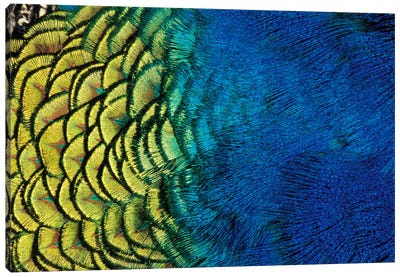 Peacock Feather In Zoom, Ashland, Jackson County, Oregon, USA Canvas Art Print