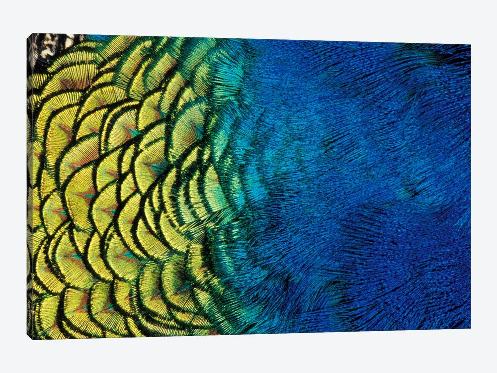 Peacock Feather In Zoom, Ashland, Jackson County, Oregon, USA by Darrell Gulin 1-piece Canvas Artwork