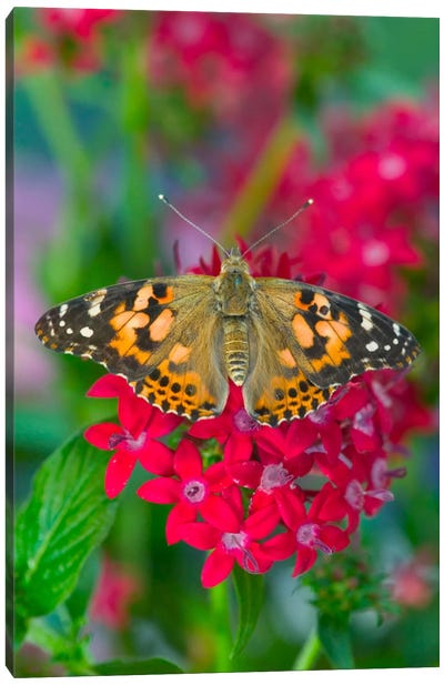 Open-Winged American Painted Lady In Zoom Canvas Print #DGU4