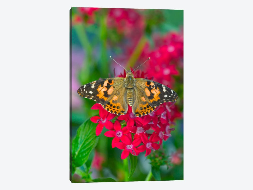 Open-Winged American Painted Lady In Zoom by Darrell Gulin 1-piece Canvas Art Print