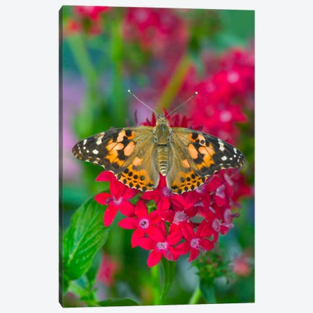 Open-Winged American Painted Lady In Zoom Canvas Print #DGU4} by Darrell Gulin Canvas Wall Art