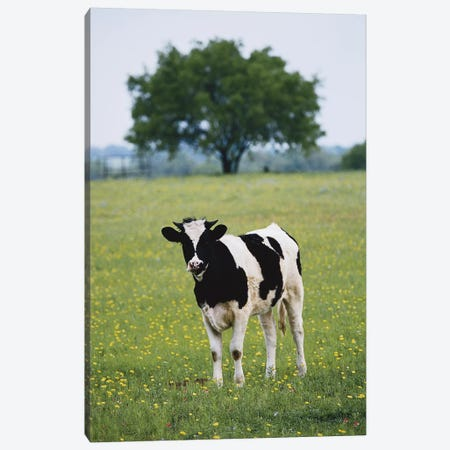 Lone Heifer In A Field, Lytle, Texas, USA Canvas Print #DGU53} by Darrell Gulin Canvas Wall Art