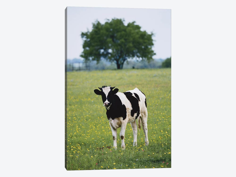 Lone Heifer In A Field, Lytle, Texas, USA 1-piece Canvas Art