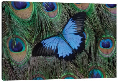 Ulysses Swallowtail Butterfly Atop A Peacock's Tail Canvas Art Print