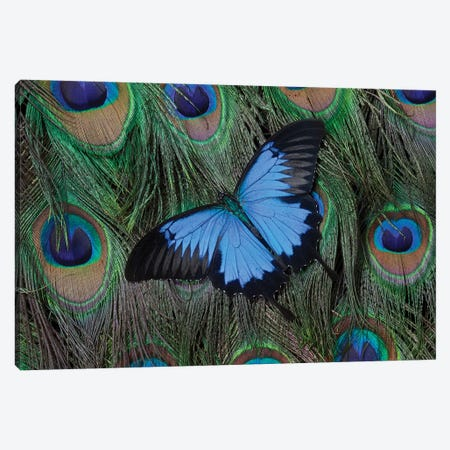 Ulysses Swallowtail Butterfly Atop A Peacock's Tail Canvas Print #DGU54} by Darrell Gulin Canvas Art Print
