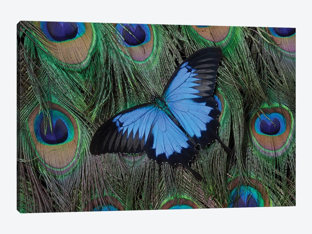 Ulysses Swallowtail Butterfly Atop A Peacock's Tail by Darrell Gulin 1-piece Canvas Print