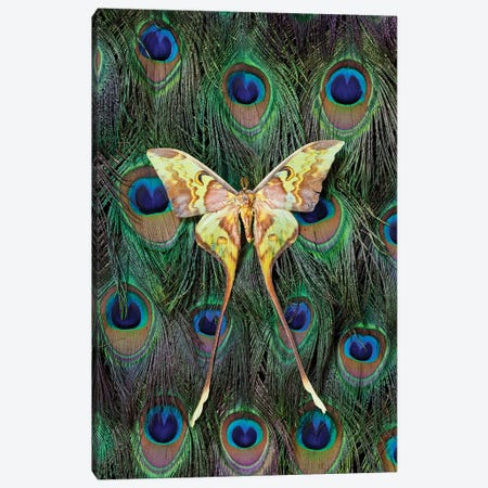 Malaysian Moon Moth Atop A Peacock's Tail Canvas Print #DGU55} by Darrell Gulin Canvas Print