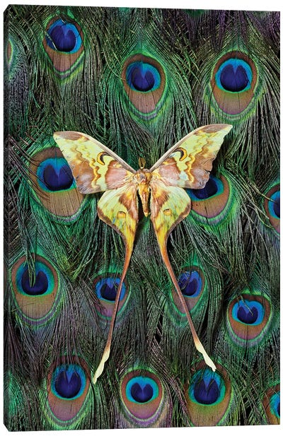 Malaysian Moon Moth Atop A Peacock's Tail Canvas Art Print