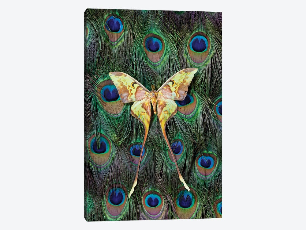 Malaysian Moon Moth Atop A Peacock's Tail by Darrell Gulin 1-piece Canvas Art