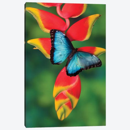 Blue Morpho Butterfly sitting on tropical Heliconia flowers Canvas Print #DGU59} by Darrell Gulin Canvas Art