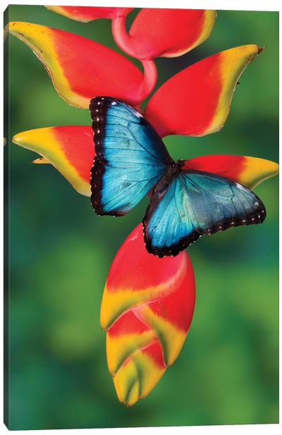Blue Morpho Butterfly sitting on tropical Heliconia flowers Canvas Art Print