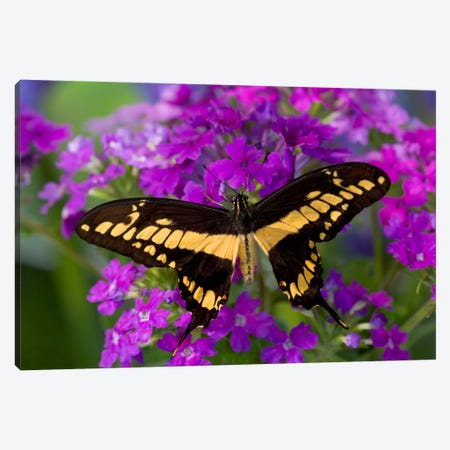 Open-Winged Thoas (King) Swallowtail In Zoom Among Fuchsia Verbena Canvas Print #DGU5} by Darrell Gulin Canvas Artwork