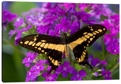 Open-Winged Thoas (King) Swallowtail In Zoom Among Fuchsia Verbena Canvas Art Print