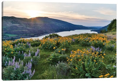 Fields of Balsamroot and Lupine on the Hills above the Columbia River Rowena, Oregon Canvas Art Print