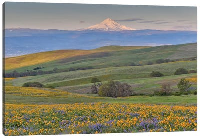 Sunrise and Mt. Hood with Springtime wildflowers, Dalles Mountain Ranch State Park, Washington State Canvas Art Print