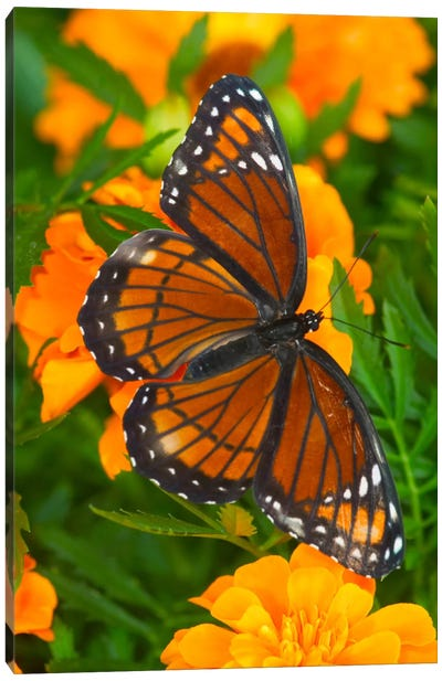 Open-Winged Viceroy In Zoom Among Marigolds Canvas Art Print