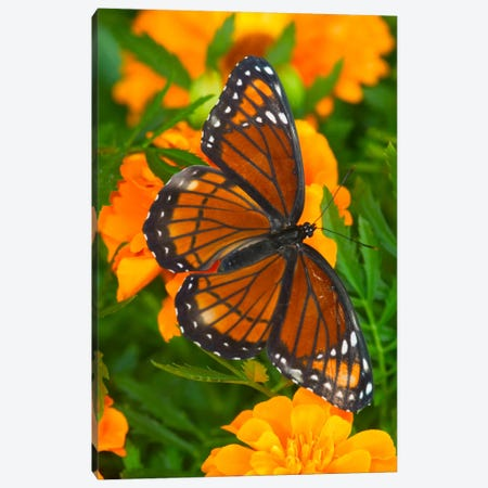 Open-Winged Viceroy In Zoom Among Marigolds Canvas Print #DGU6} by Darrell Gulin Canvas Art