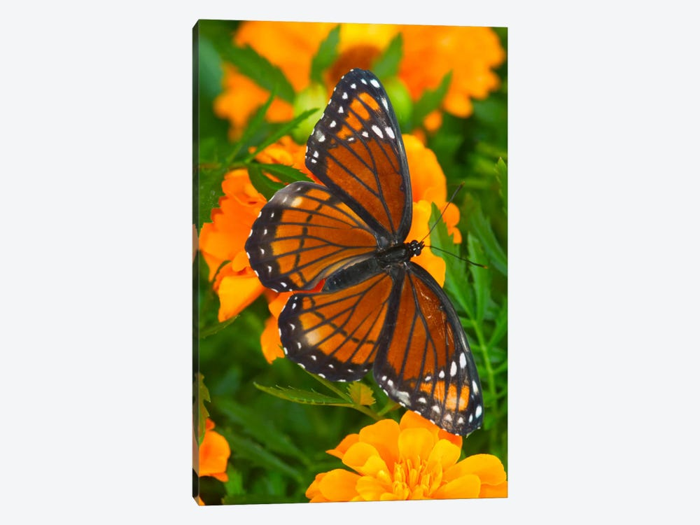 Open-Winged Viceroy In Zoom Among Marigolds by Darrell Gulin 1-piece Art Print