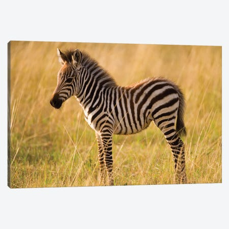 Young Plains Zebra In Grass, Masai Mara National Reserve, Kenya Canvas Print #DGU71} by Darrell Gulin Canvas Artwork