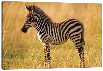 Young Plains Zebra In Grass, Masai Mara National Reserve, Kenya Canvas Art Print