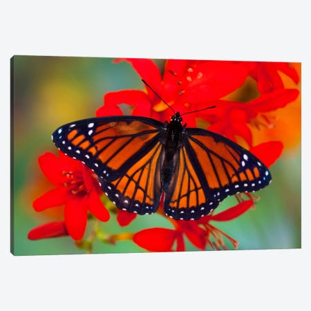 Open-Winged Viceroy In Zoom Among Crocosmias (Lucifers) Canvas Print #DGU7} by Darrell Gulin Canvas Wall Art
