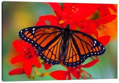 Open-Winged Viceroy In Zoom Among Crocosmias (Lucifers) Canvas Art Print