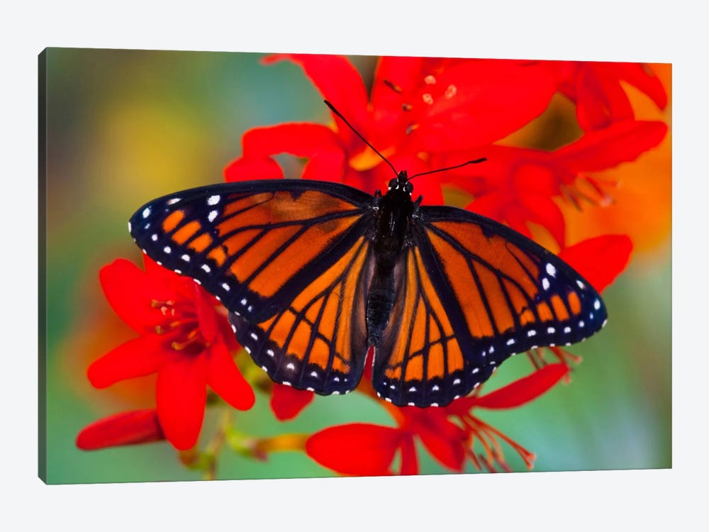 Open-Winged Viceroy In Zoom Among Crocosmias (Lucifers) 1-piece Canvas Artwork