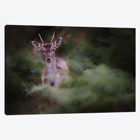 Young Fallow Deer Canvas Print #DKN3} by Karen Deakin Art Print