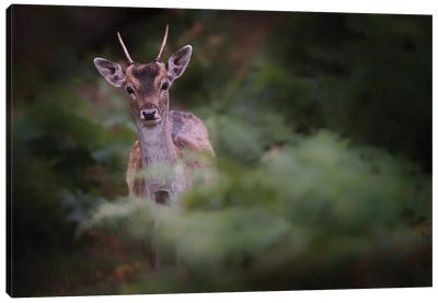 Young Fallow Deer Canvas Art Print