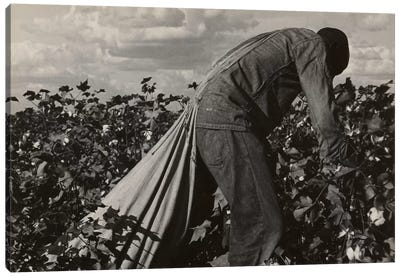 Cotton Field Stoop Laborer, San Joaquin Valley, California, USA Canvas Print #DLA1